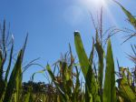 Corn in the Sun