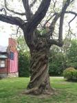 old-new-england-tree